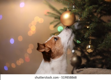 Happy New Year, Christmas, Jack Russell Terrier. holidays and celebration, pet in the room the Christmas tree