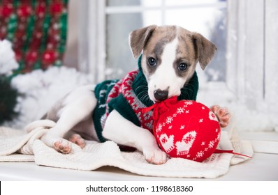 Happy New Year Christmas wippet puppy,  holidays and celebration pet