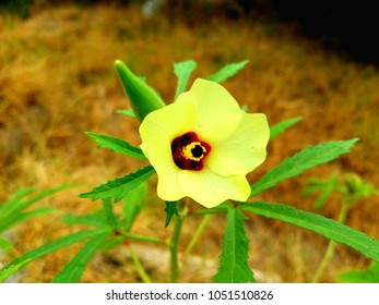 A happy okra blossom in late summer.