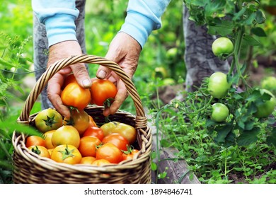 Happy organic farmer harvesting tomatoes in greenhouse. Farmers hands with freshly harvested tomatoes. Freshly harvested tomatoes in hands. Young girl hand holding organic green natural healthy food.