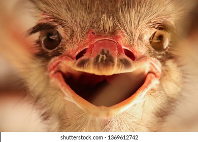 Happy ostritch, front view of an ostrich bird that looks like it is smiling