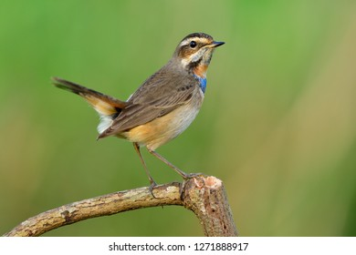 Happy pale brown bird with bright blue and orange feathers on its chest perching on wood stick doing tail wagging, Bluethroat (Luscinia svecica)