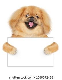 Happy Pekingese dog holding empty business card on white background