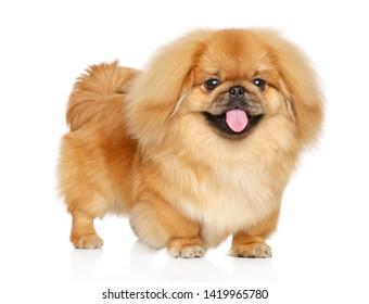 Happy Pekingese dog standing on white background