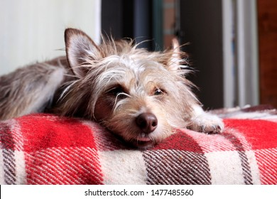 Happy pet dog lying on the sofa at home