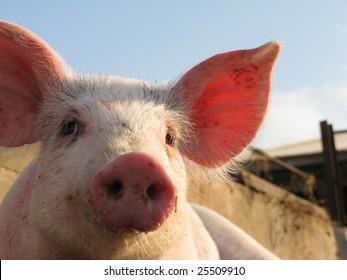 Happy pig on pig farm