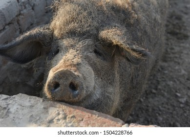 Happy pig rolling in mud.Mangalitsa The Woolly Sheep-Pig, healthy environment and organic food production.Domestic pigs feeding in mud.Mangalitsa in sand.Free-range, outdoors, they have a decent life
