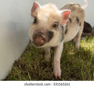A happy piglet in a petting zoo