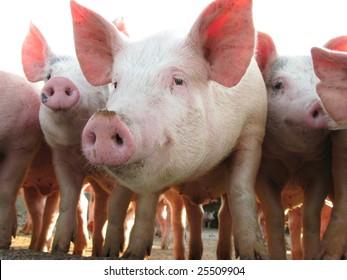 Happy pigs on pig farm