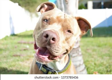 Happy pitbull smiling