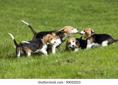 happy playing beagle family
