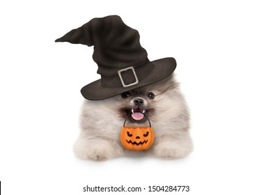 happy pomaranian spitz Halloween puppy dog, with witch hat and orange pumpkin basket hanging with paws on white banner, isolated