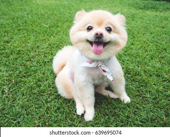 Happy Pomeranian dog with big black eyes and brown hair relax outdoor.
