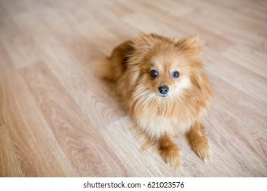 Happy pomeranian dog. Cute pet