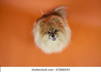Happy Pomeranian dog on bright orange backdrop