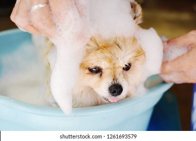 Happy Pomeranian dog take a bath in blue bucket with white bubbles shampoo at home, front view of cute dog with hand of human cleaning pet background, cleaning dog in summer concept