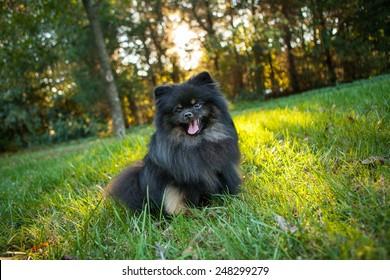 Happy Pomeranian sitting outside in a field