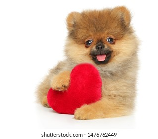 Happy Pomeranian Spitz puppy with red Valentine heart on white background