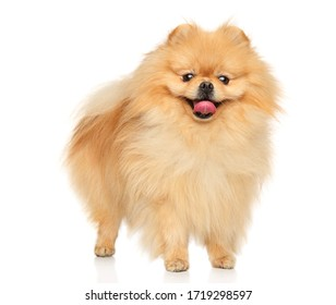 A happy Pomeranian Spitz stands on a white background