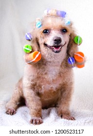 Happy poodle with curlers in his hair smiling at the camera