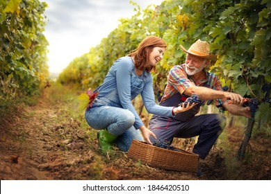 Happy portrait of a smiling senior man with young woman with freshly picked up wine grapes on the vineyard. Family business concept