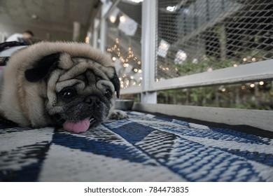 A Happy Pug