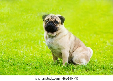 Happy pug dog at the grass field sitting and looking at the camera