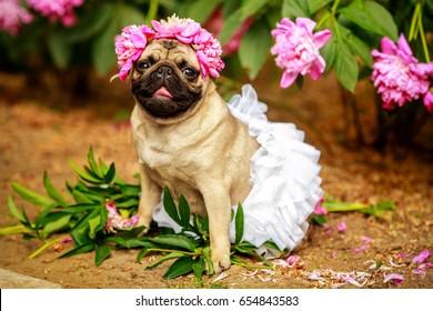 happy pug dog. pug-dog on a picnic party