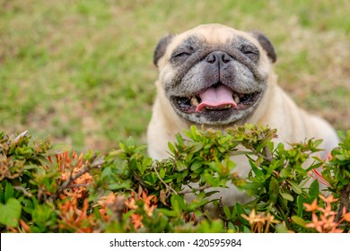 happy pug dog sitting behind shrub.