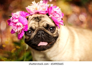 A happy pug puppy dog in the colors of peonies. Pug at a party a