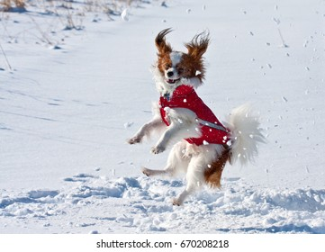 A happy pup is playing in the snow with his red winter coat.