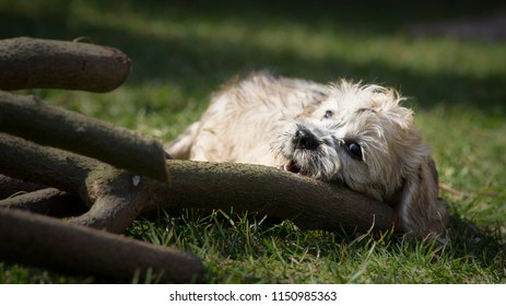 Happy puppy is biting very thick stick. The breed of Dandie dinmont terrier