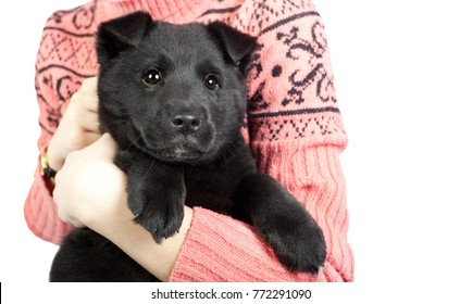 happy puppy of a German shepherd in the arms of a girl in a sweater. isolated on white background