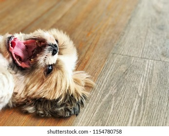 Happy Puppy laying down on vinyl wood pattern floor, copy space for interior design background