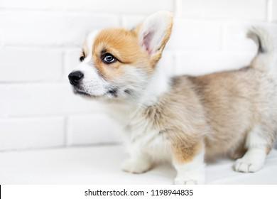 Happy  Puppy Welsh Corgi Pembroke on  white background. Portrait of Beautiful small  puppy dog  close up