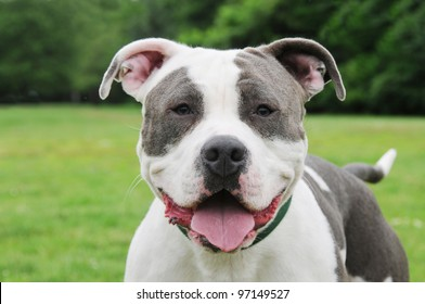 Happy Purebred Cow Patch Blue Nose Canine American Bully 9 month old Dog close up head shot