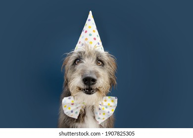 Happy purebreed dog celebrating birthday or carnival wearing party hat and bowtie. Isolated on blue background.