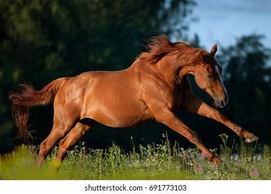 happy red chestnut horse runs free in morning field