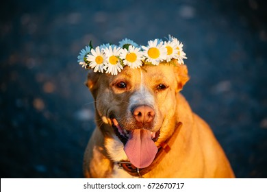 Happy red dog wearing a crown of daisies walks on the field at sunset