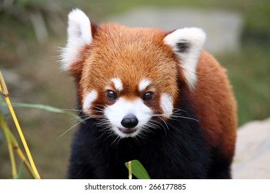 happy red panda, endangered animal in China