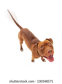 A happy red Pit Bull dog with intentional motion blur showing his tail wagging as he is looking up with a smile