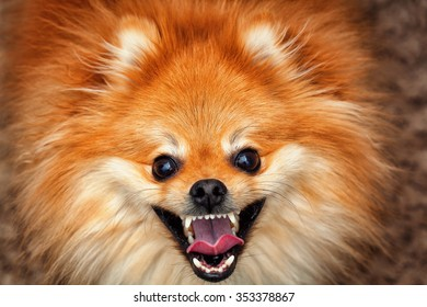 Happy red Spitz dog breed with a smile looking at the camera