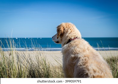 happy retriever dog playing in sand dunes looking over beach and yachts in bay