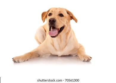 Happy Retriever Labrador dog of a yellow ivory shade in studio