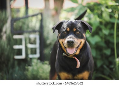 Happy Rottweiler dog with number 33 in background