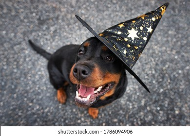 happy rottweiler dog in a wizard hat, top view portrait