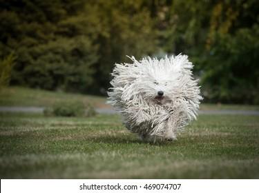 happy run purebred puli dog outdoors