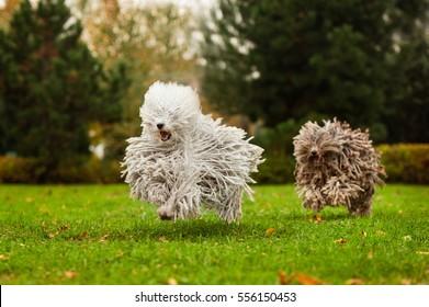 happy run purebred puli dog (Hungarian Puli, Hungarian Water Dog) outdoors