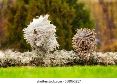 happy run purebred puli dog (Hungarian Puli, Hungarian Water Dog) outdoors