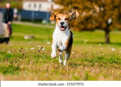 Happy running beagle